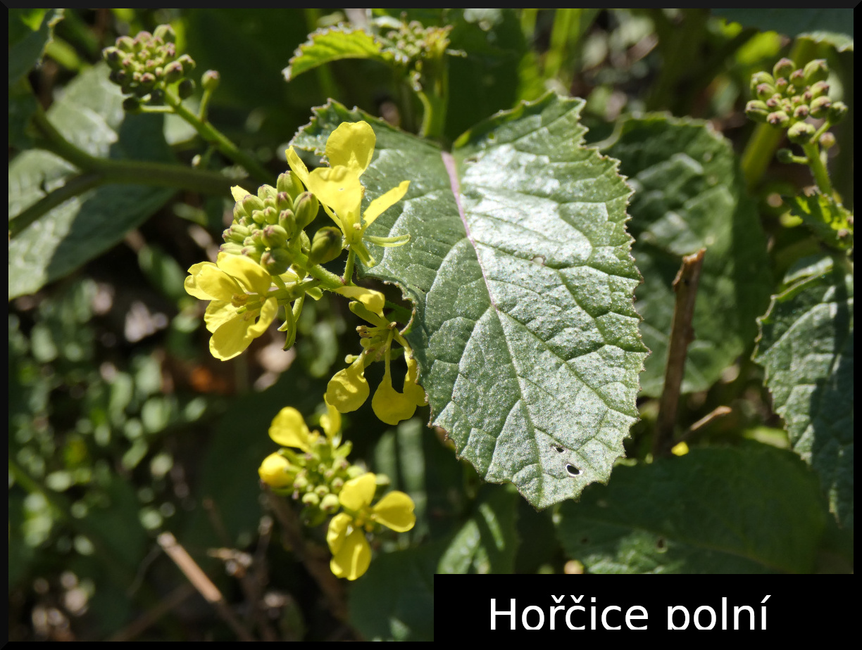 2020_03_14_Horcice_polni