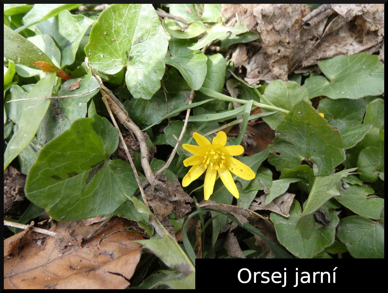Orsej jarní