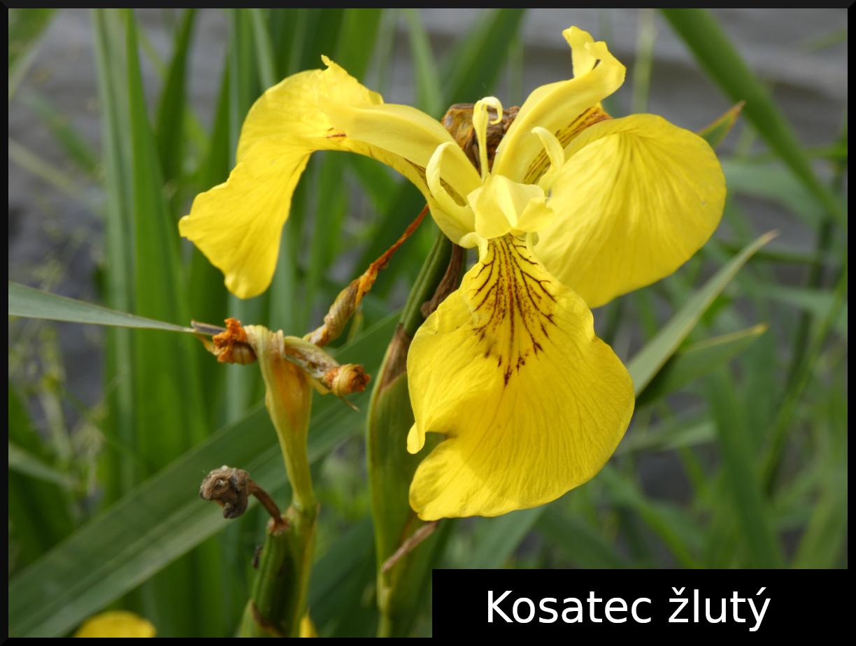 2020_06_kosatec_zluty_01