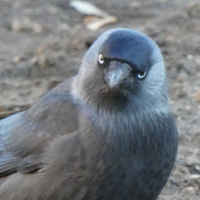 Na místě Koněva koná se hostina pro vrány