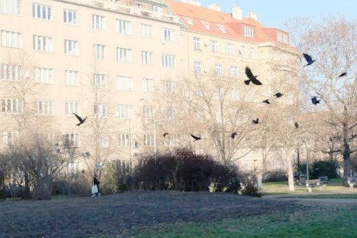 Vrány s holuby, foto: Jan Macháček